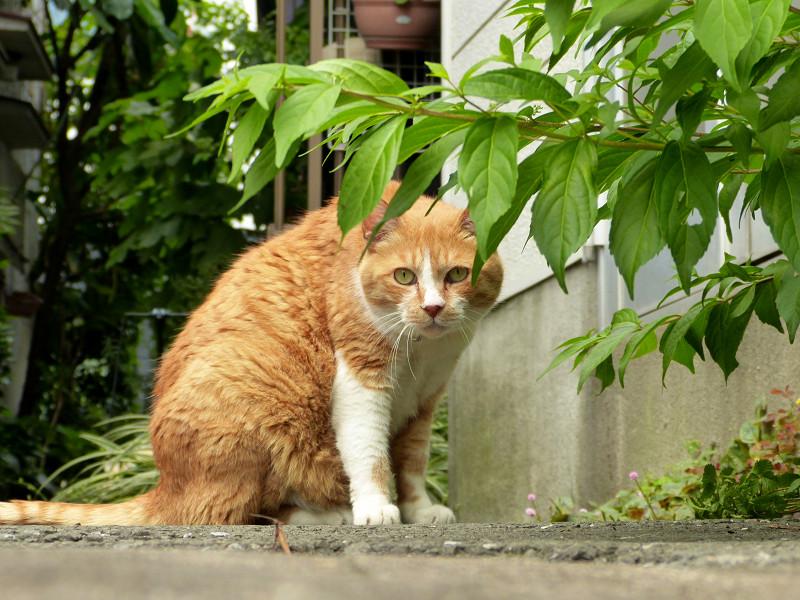 細い路地で出会った茶白猫2
