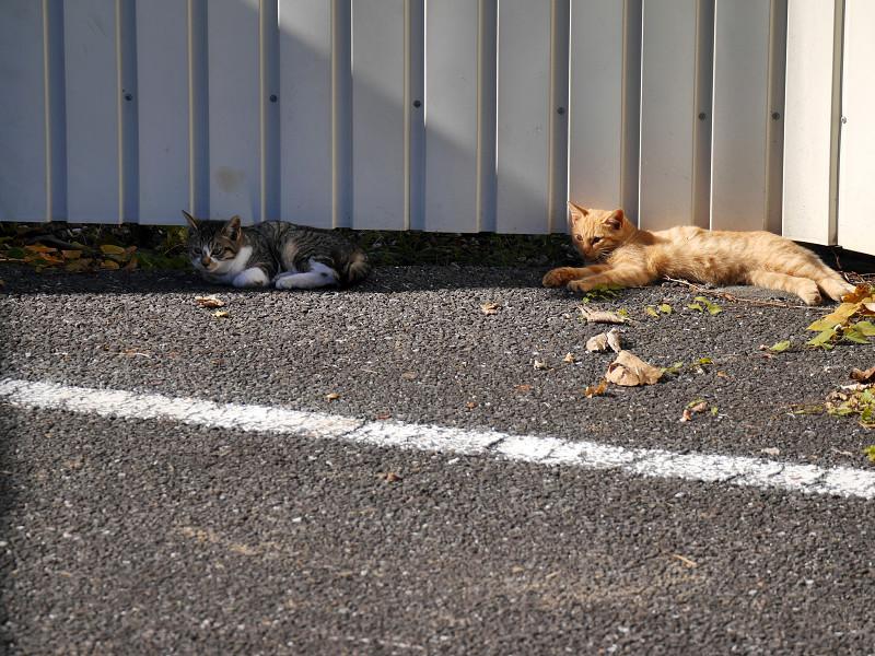 トタン壁の前の猫3