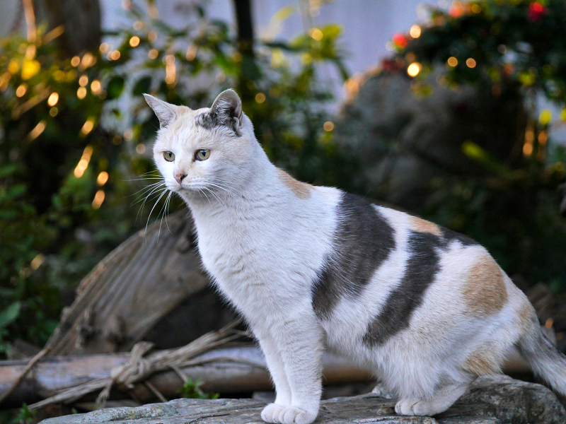 じっとしている薄い柄の三毛猫2