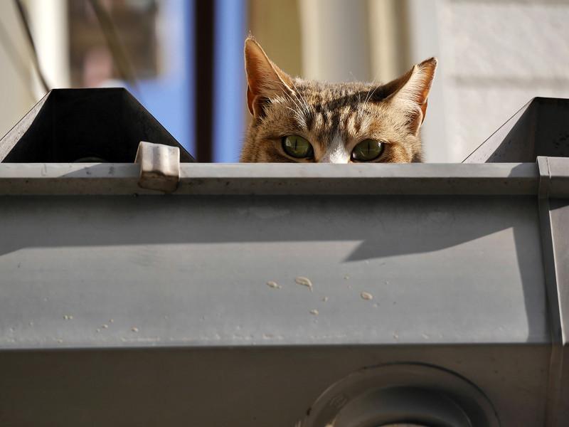 屋根から見つめ合ったキジ白猫2