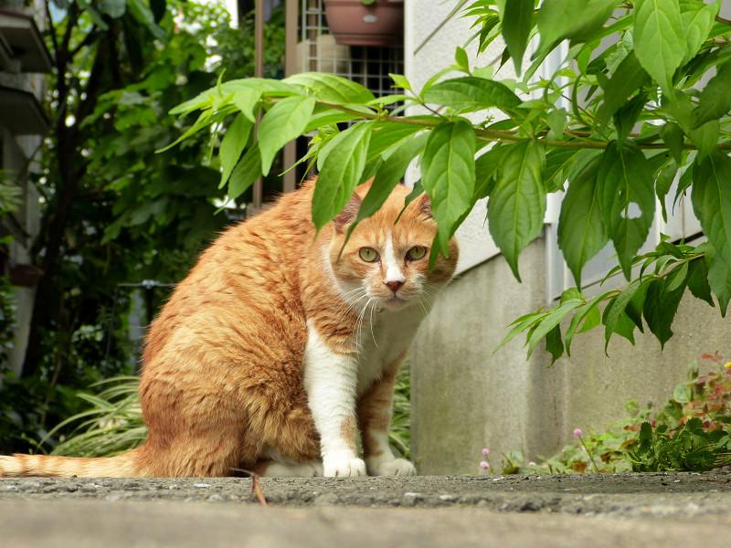 細い路地で出会った茶白猫3
