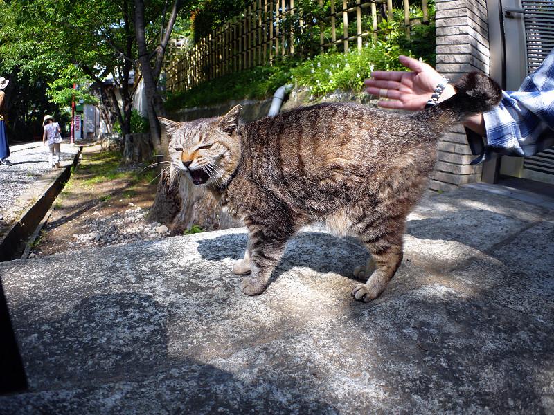 立ち上がったキジトラ猫3