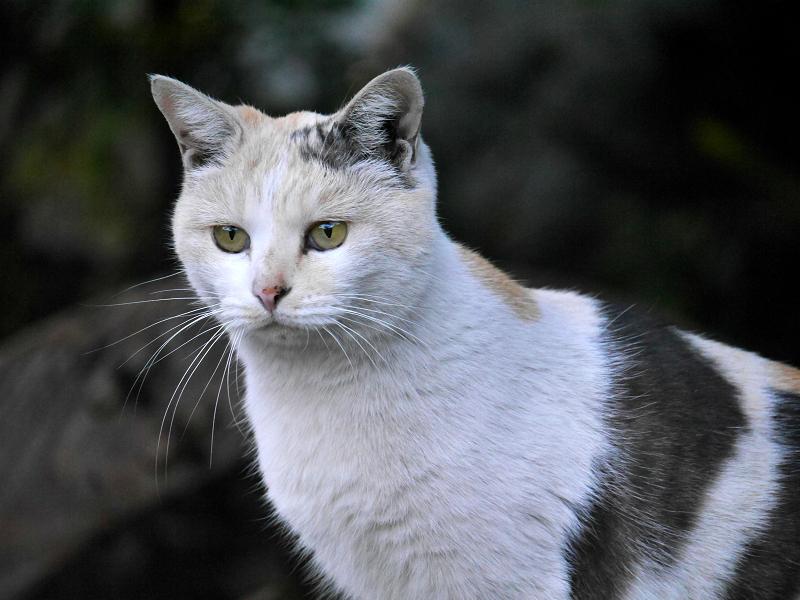じっとしている薄い柄の三毛猫3