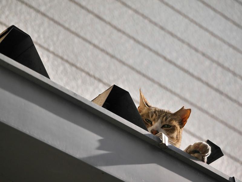 屋根から見つめ合ったキジ白猫3