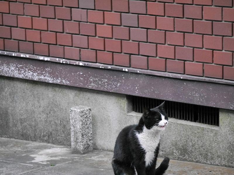 驚き顔で腰を落とす黒白猫3