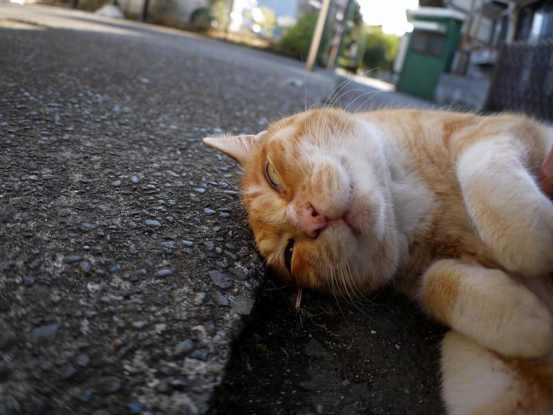 丸くなって恍惚顔の茶白猫1