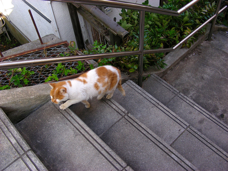 階段の端を歩く白茶猫1