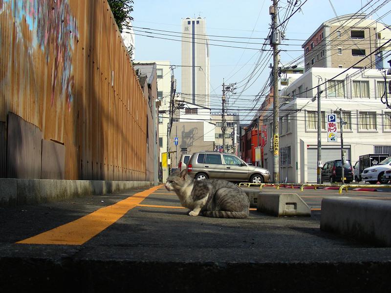 駐車場で座ってるグレー白猫2