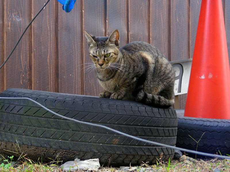 古タイヤに乗ってるキジトラ猫2