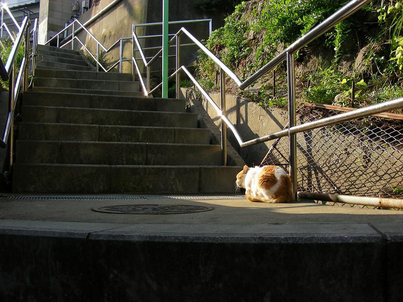 階段の端を歩く白茶猫4