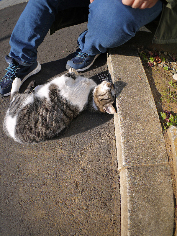 足元で回転するキジ白猫1