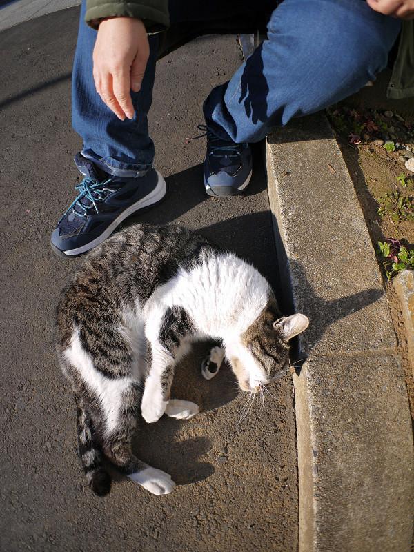足元で回転するキジ白猫3