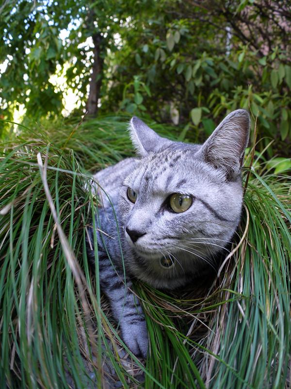 草を纏ったサバトラ猫