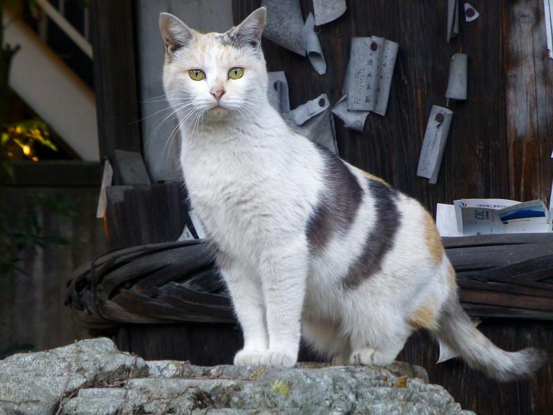 固まっている薄い三毛柄猫