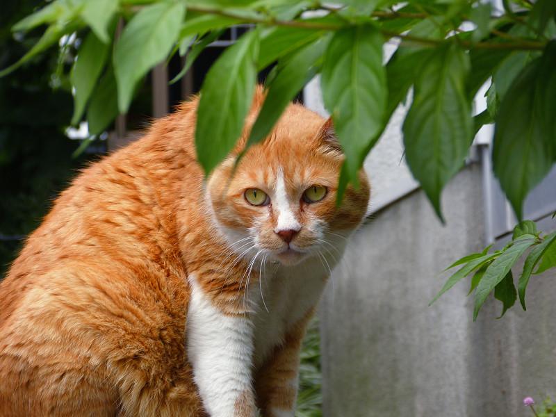 葉陰の茶白猫1
