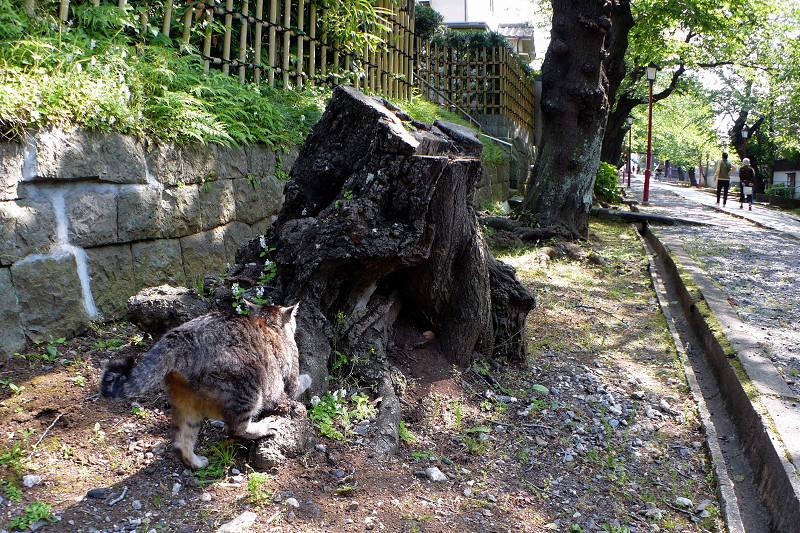 切り株爪研ぎキジトラ猫1