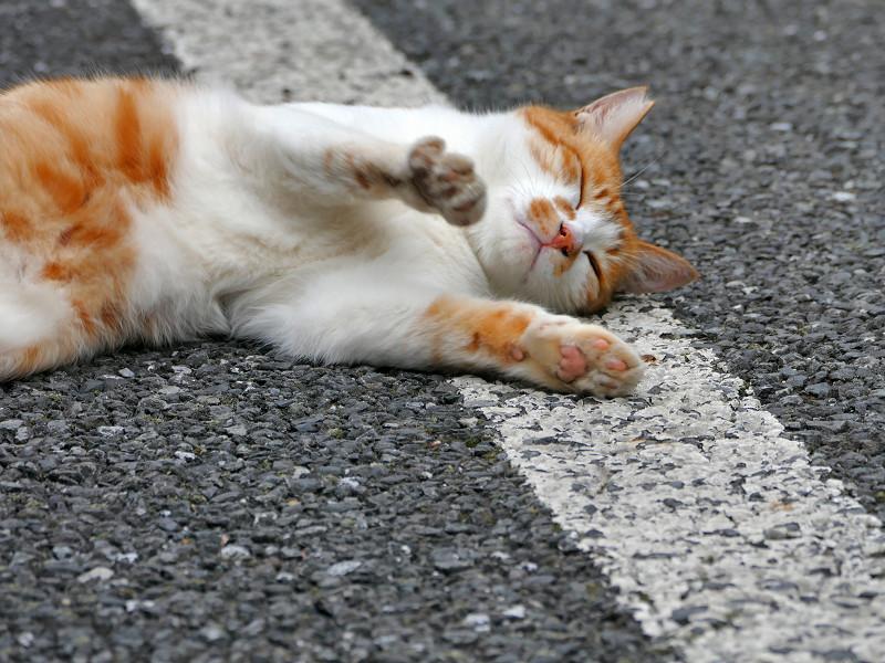 駐車場で転がる白茶猫1