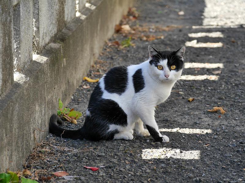 差し込む陽射しと白黒猫1