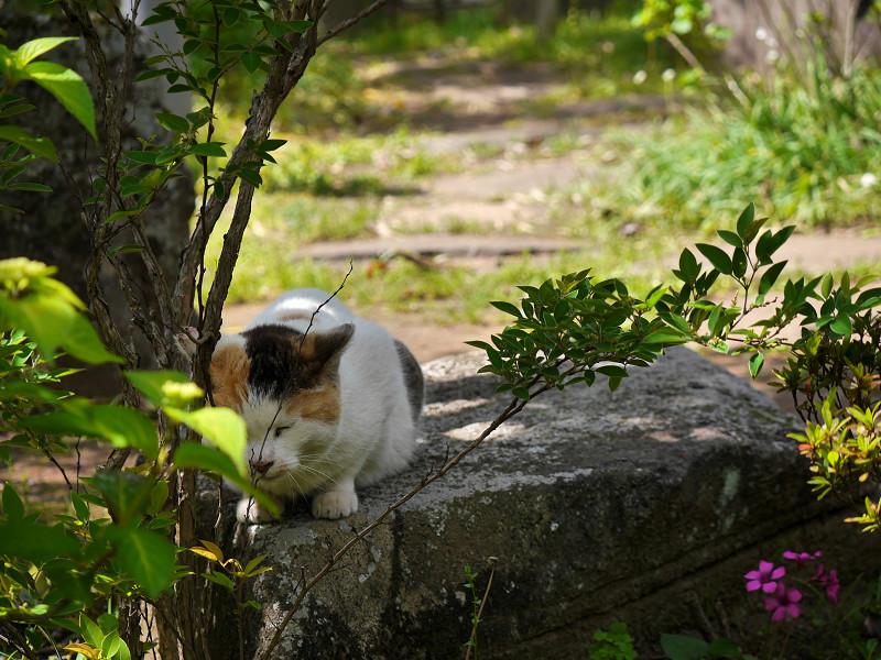 岩に乗ってる白三毛猫1