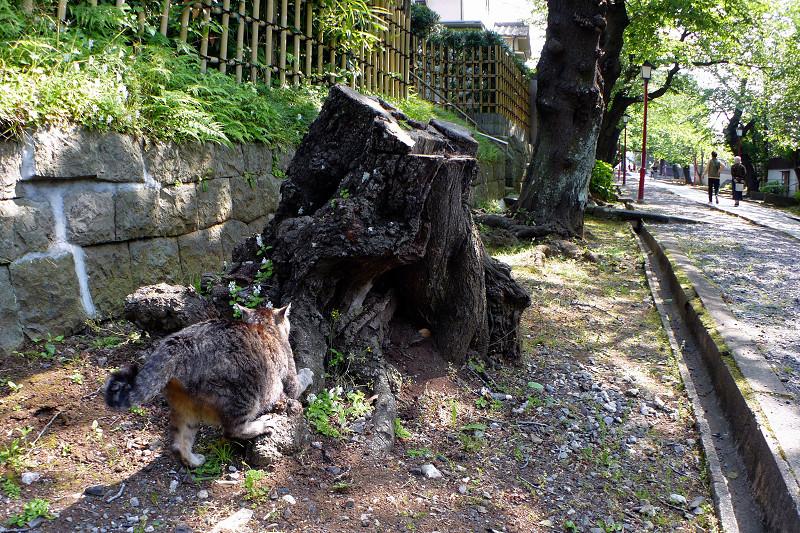 切り株爪研ぎキジトラ猫2