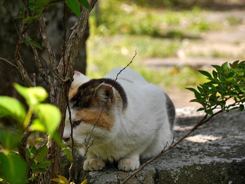 岩に乗ってる白三毛猫2