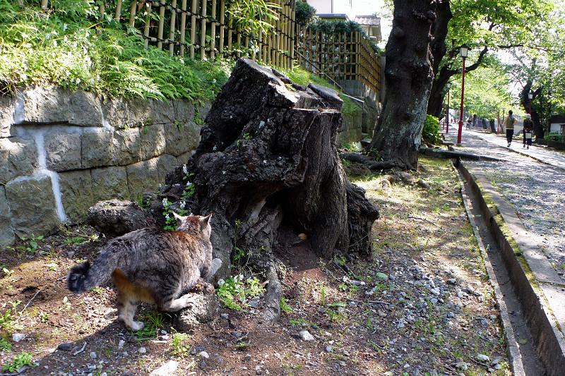 切り株爪研ぎキジトラ猫3