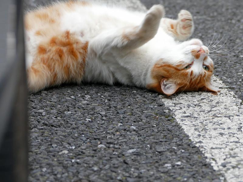 駐車場で転がる白茶猫3