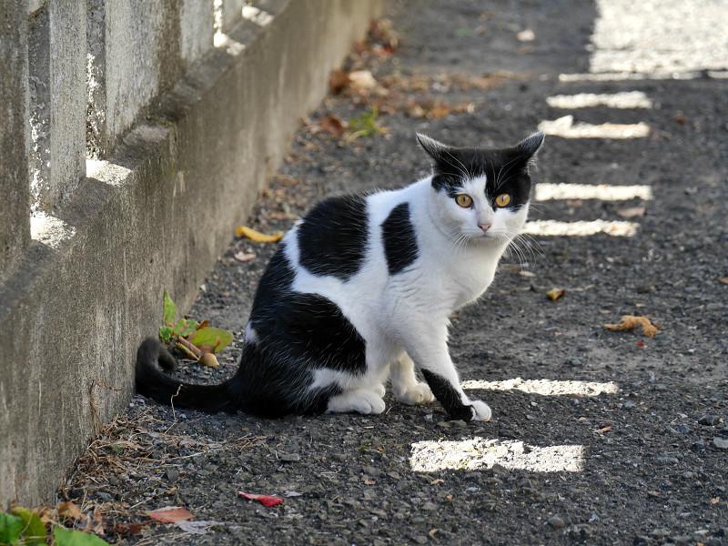 差し込む陽射しと白黒猫3