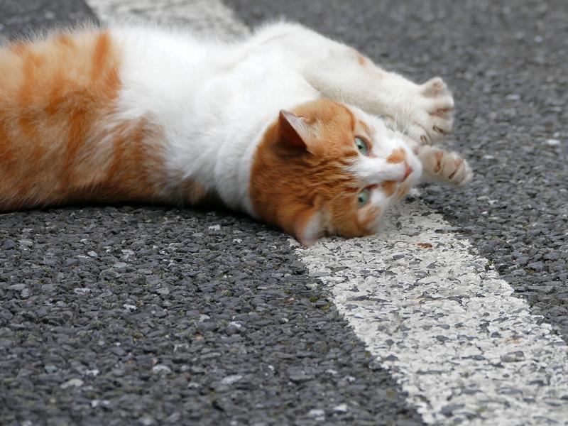 駐車場で転がる白茶猫4