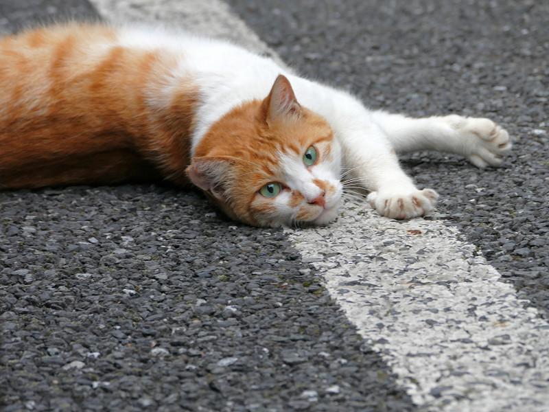 駐車場で転がる白茶猫5