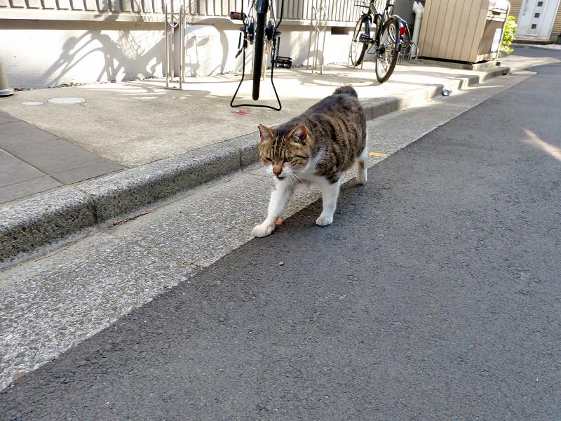 路地を歩いて寄って来るキジ白猫1