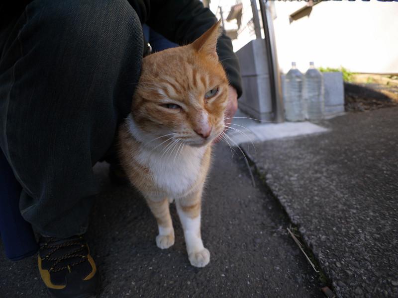 腿にくっついてる茶白猫1