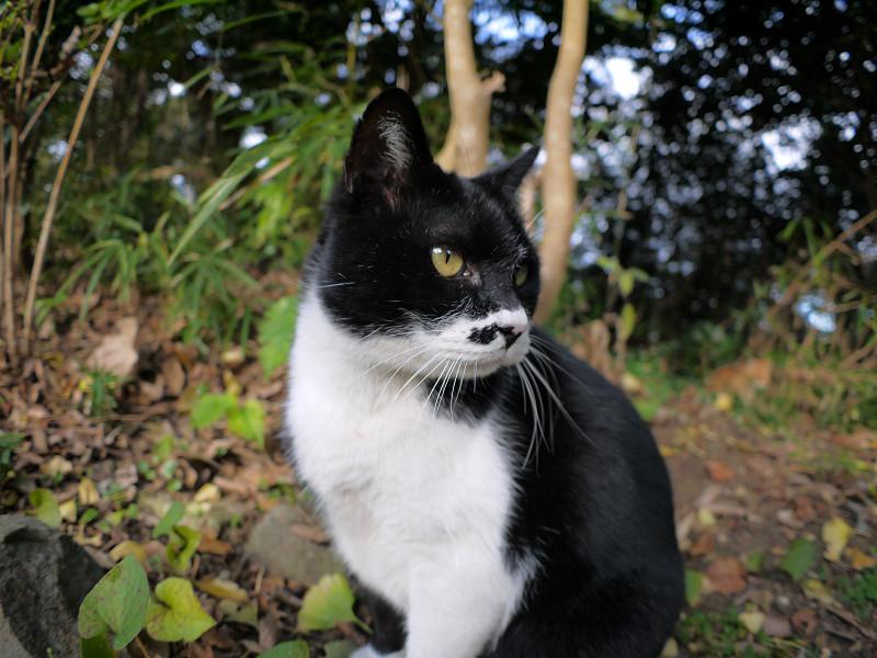 横を向いてベロを出す黒白猫1