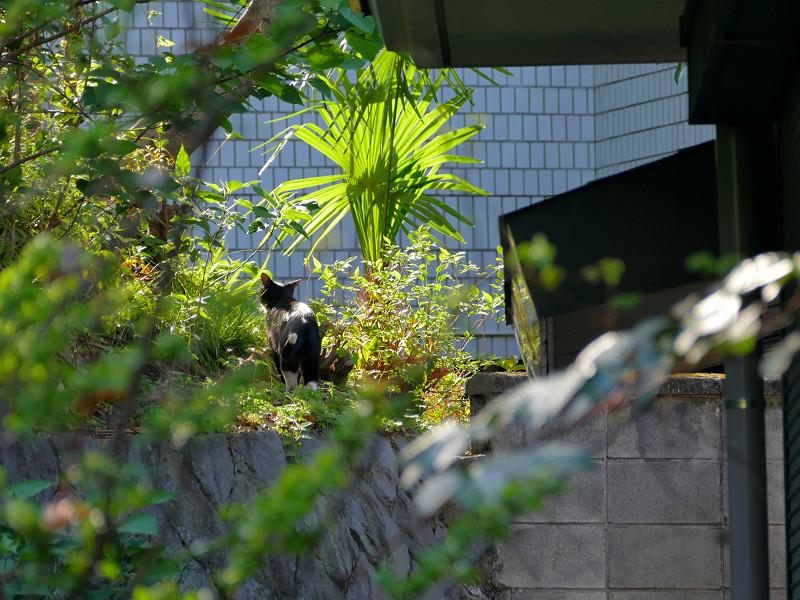 尻尾が白い黒白猫1