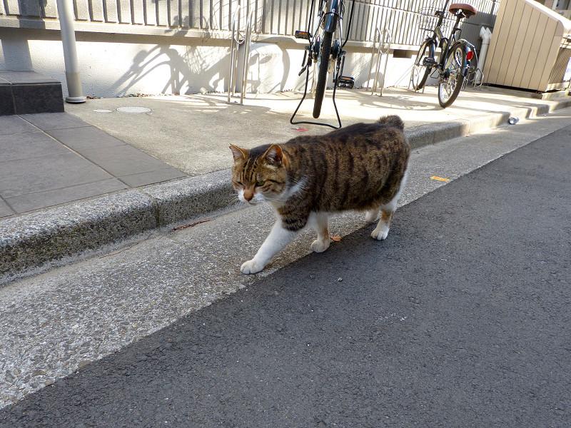 路地を歩いて寄って来るキジ白猫2
