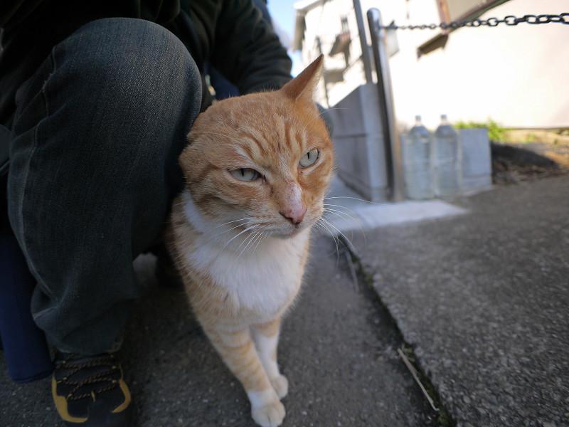 腿にくっついてる茶白猫2