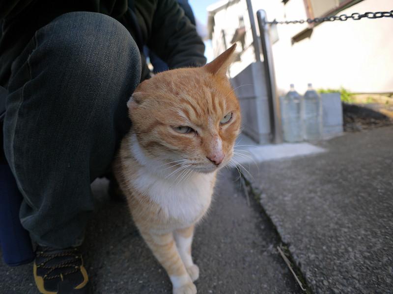 腿にくっついてる茶白猫3