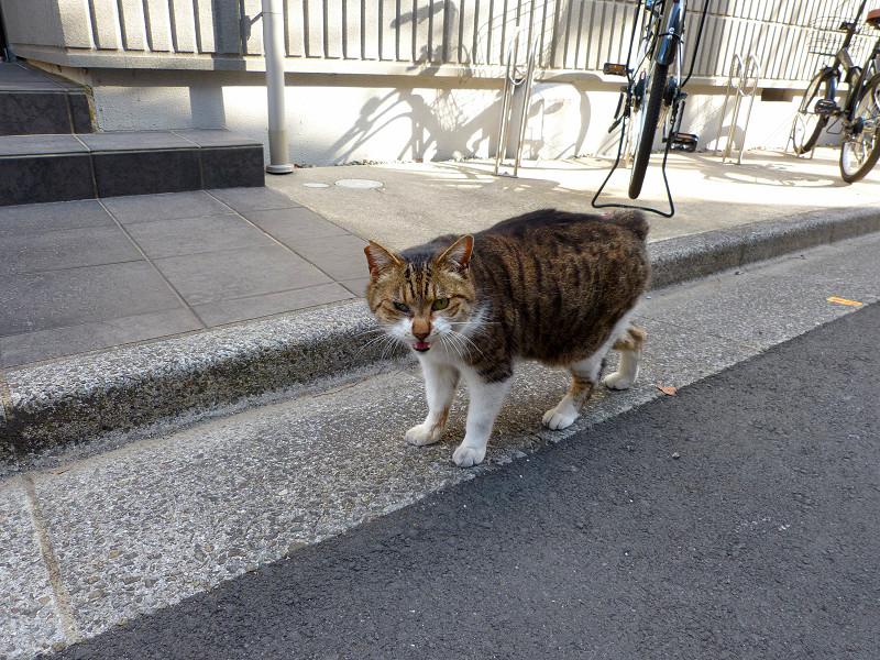 路地を歩いて寄って来るキジ白猫4