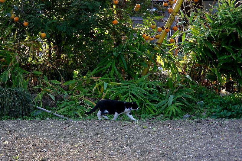 畑を歩く黒白猫1