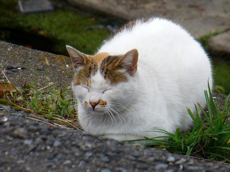 香箱の白キジ猫1