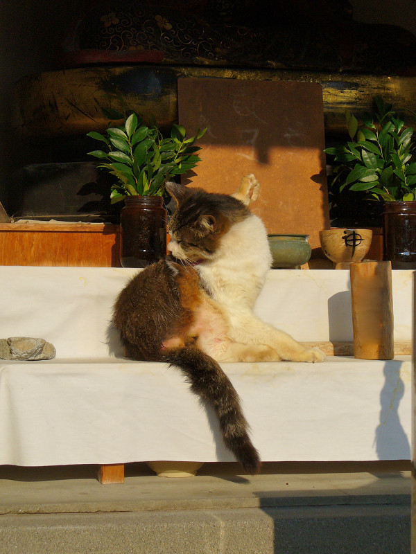 祠の中のキジ白猫1
