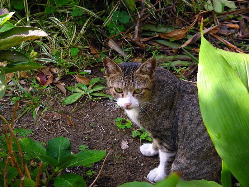 草むらのキジ白猫2