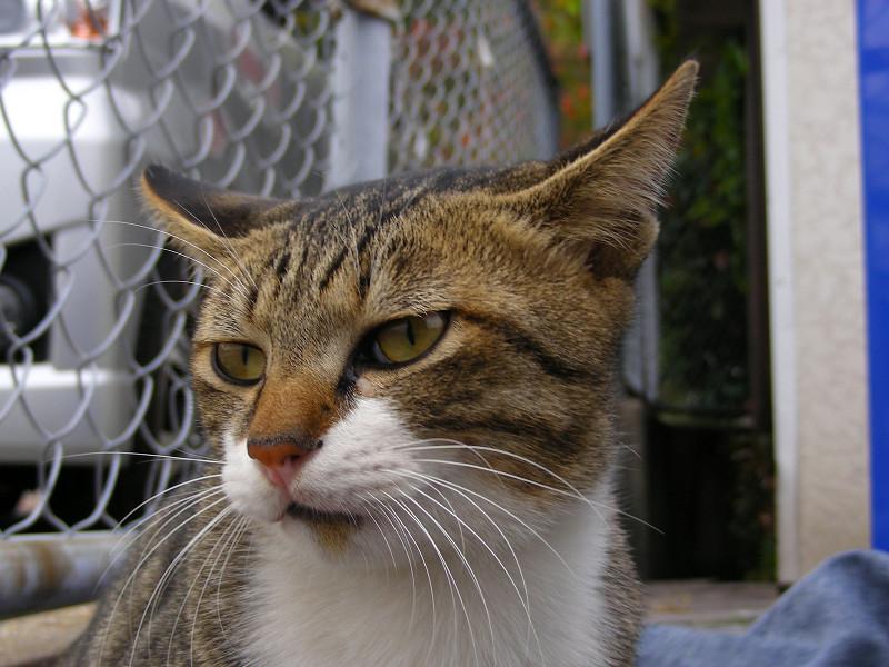 何かを見ているキジ白猫2