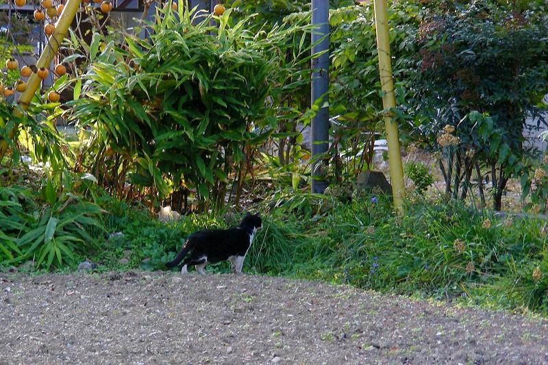 畑を歩く黒白猫2
