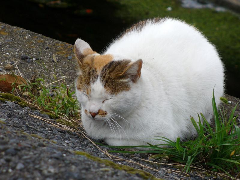 香箱の白キジ猫2