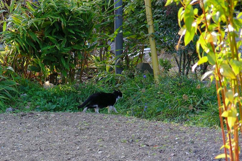 畑を歩く黒白猫3