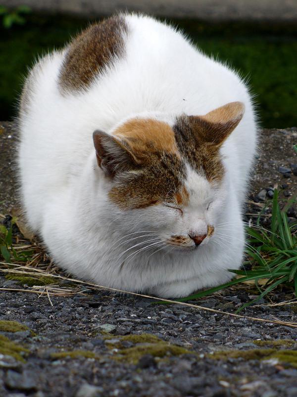 香箱の白キジ猫3