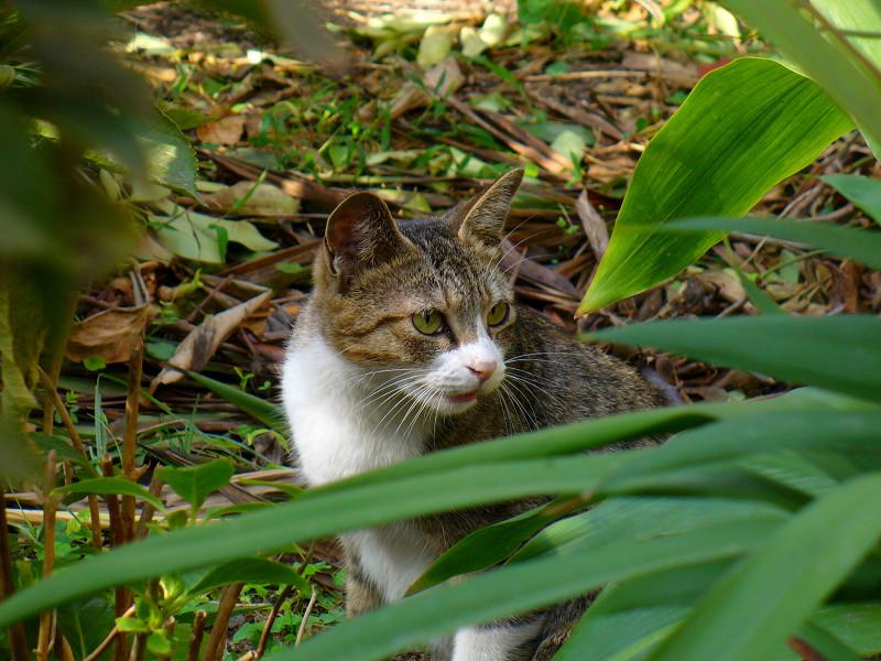 草むらのキジ白猫3