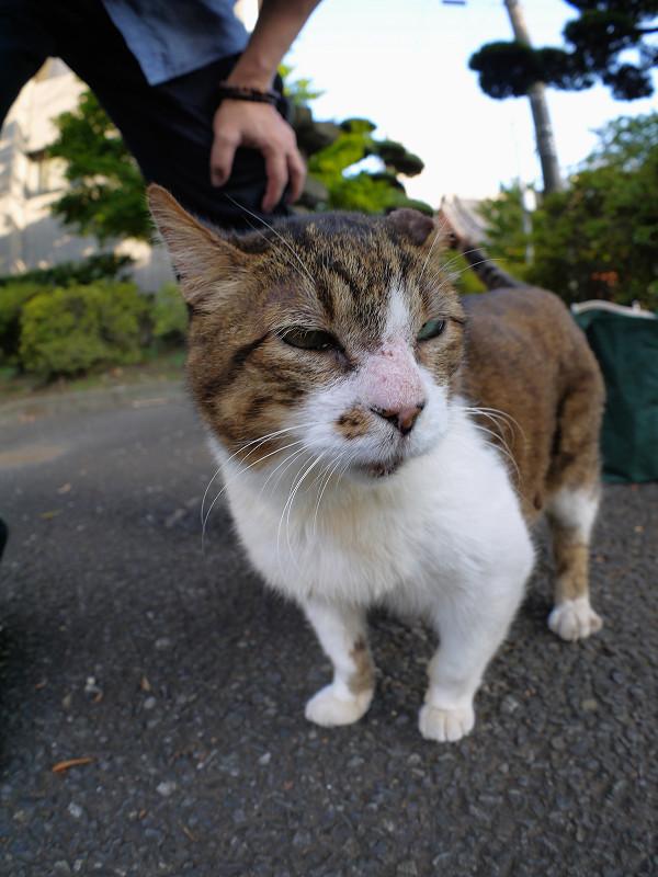デカイキジ白猫1