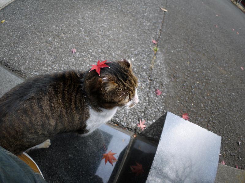 赤いもみじとキジ白猫3